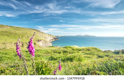 Green cliffs with foxglove flowers at bright sunny summer day in Pembrokeshire, Wales, UK