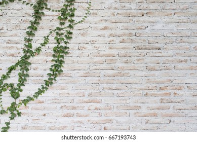 Green climber plant on dirty white brick wall for background and copy space.