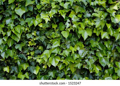Green climbing ivy over wall