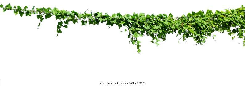 Climbing Plant Images, Stock Photos & Vectors