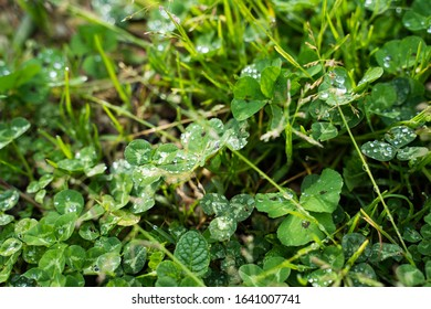 Green clover with fresh raindrops
