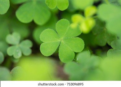 Green Clover leaf field background