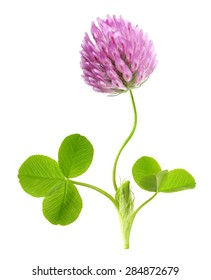 Green clover leaf and flower isolated on white background.