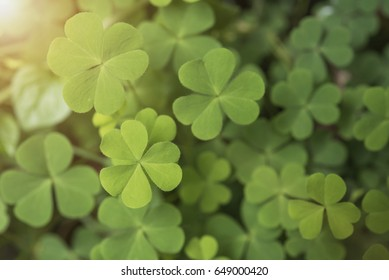 green clover leaves heart for background nature. concept valentine's day.