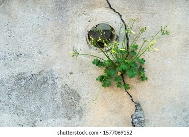 Green clover plant with yellow flowers on it growing through the crack in the rough concrete wall with a pipe in it.