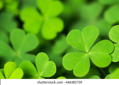 Green Clover. Young small green plant with heart shape leaf