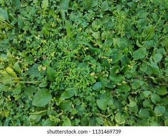 green clovers and weeds in the lawn