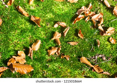 Green clumps of moss with leafs in autumn . Forest.