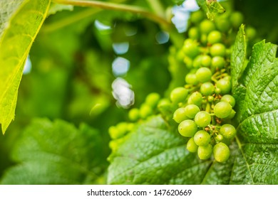 Green cluster of wine ripening, shot in the middle of summer, during hot and sunny day