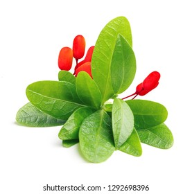 Green coca leaves isolated on a white background