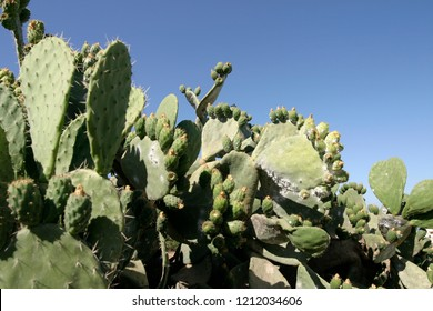 green cochineal plant
