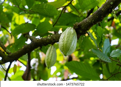 Green cocoa bean on the tree