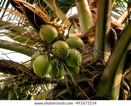 Green coconut Fruit on the palm tree. Angola, Africa