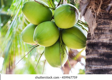 green coconut fruit that is on the natural tree