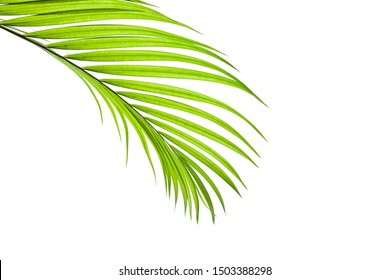 green coconut leaf isolated on white background with clipping path for design elements, tropical palm leaf, summer background