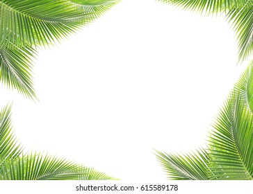 Green coconut leaf isolated on white background as tropical background