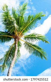 Green coconut palm tree on blue sky with white striped clouds. Airplane track on the bright sky. Chemtrail. Visible trail left in the sky by an aircraft