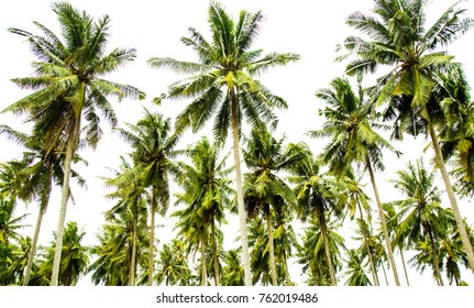 green coconut palm trees farm on white sky background .