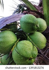 Green coconut with water drops on a cocunut tree after rain with selective focus.