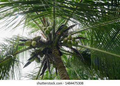Green coconuts on a coconut tree. Coconut bunch growing on a palm tree. Bottom view