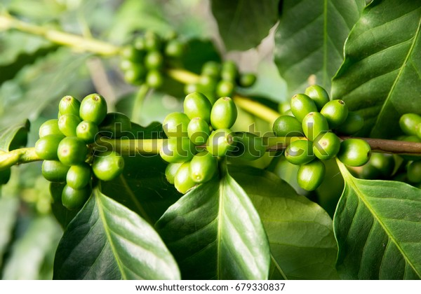 Green Coffee Beans Growing On Plant Stock Photo Edit Now 679330837