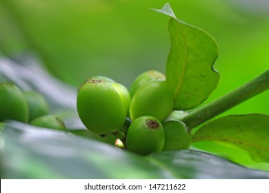 green coffee beans on the branch