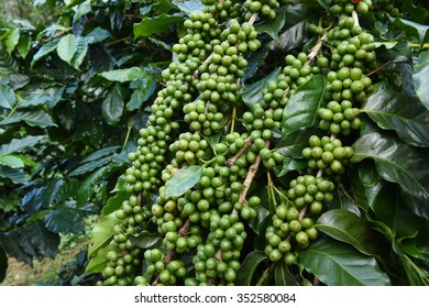 Green coffee beans on stem.