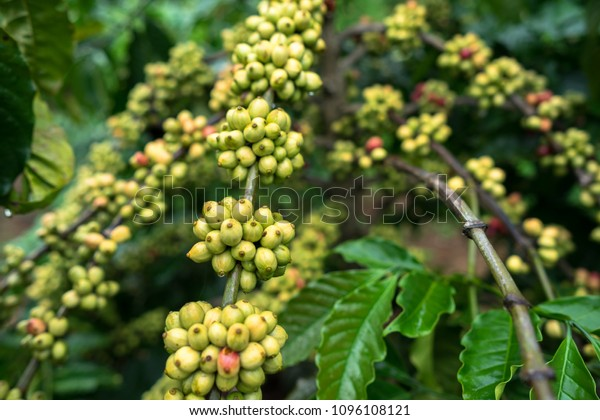 Green Coffee Beans On Tree Stock Photo Edit Now 1096108121