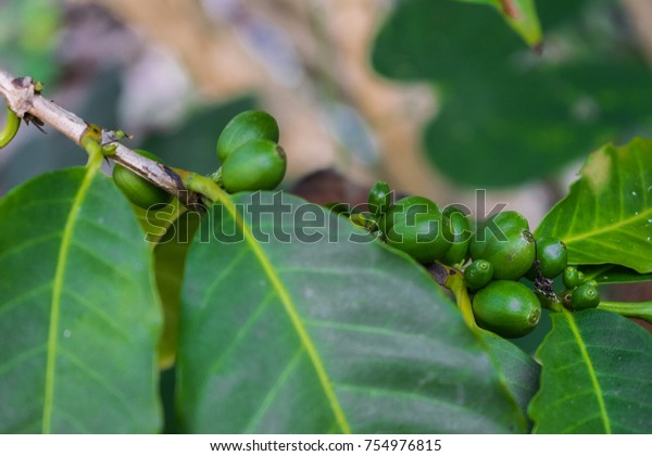 Green Coffee Beans On Tree Stock Photo Edit Now 754976815