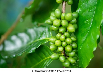 green coffee beans on tree.Green coffee beans growing on the branch in Chiang Mai ,Thailand.