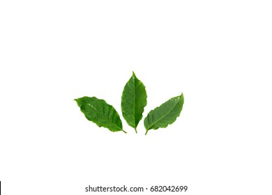 Green coffee leaf with water drops on white background.fresh Green leaves.