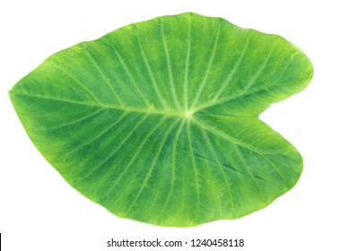 Green colocasia esculenta leaves with isolate white background