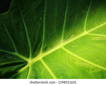 green colocasia leaf surface pattern background, glowing colocasia leaf texture