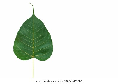 The green color Bodhi leaf isolated on white background with space for text.