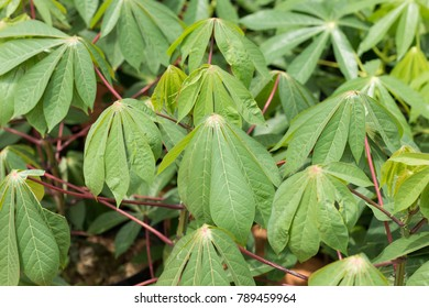 green color of cassava leaves