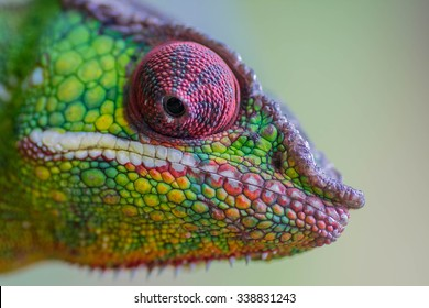 Green colored chameleon face macro detail