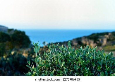 Green colored vegetation and plants with sea view and hills on Gozo island, Malta