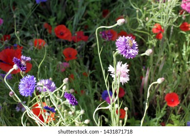 Green colorful meadow with poppies, blue and purple cornflowers for natural flora attracting insects and bees in the city, park, garden, background