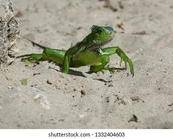 Green Colourful iguana on the beach of Guadeloupe archipelago in the Caribbean sea