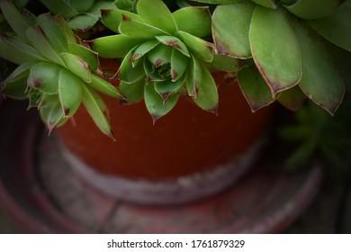 Hogar común verde (Sempervivum tectorum)
