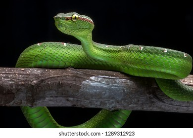 Green Common Viper 2001024 - Exotic Reptile Animal Photo Collection