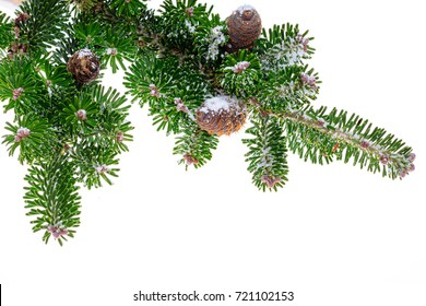 Green coniferous branch with big cones sprinkled by snow.