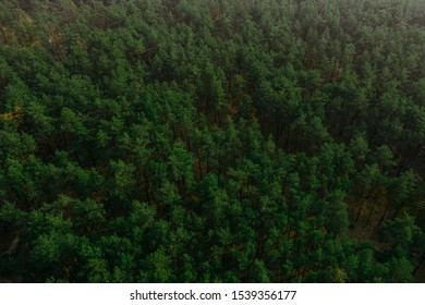 Green coniferous forest aerial shot with a quadrocopter. Forestry. Forest Fund of the country. Pine coniferous plantings.