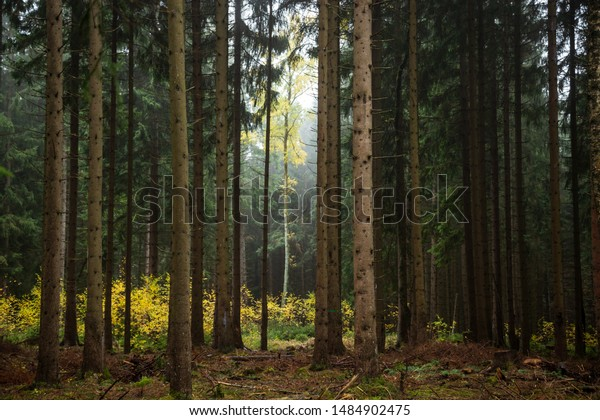 Green coniferous forest in autumn with bright colors. Harz, Saxony-Anhalt, Germany