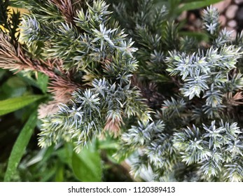 Green coniferous needles