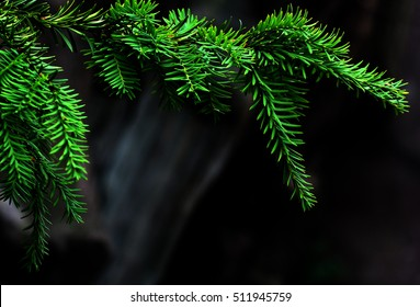 Green Coniferous tree pine branch on dark bokeh background. Concept corner frame for Christmas or New Year congratulations blank card. Copyspace for text and logo.