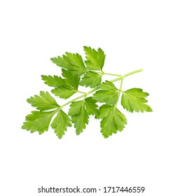 green coriander branch isolated on white background