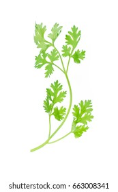 Green coriander leaves isolation on a white background