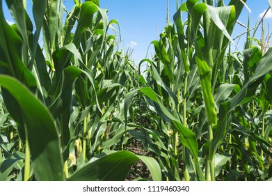 Green corn field against the blue sky and clouds, agricultural concept