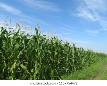 Green corn field against blue sky and white clouds. Summer agricultural industry, corn stalks with cobs